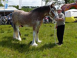 Clydesdale Champion 2016