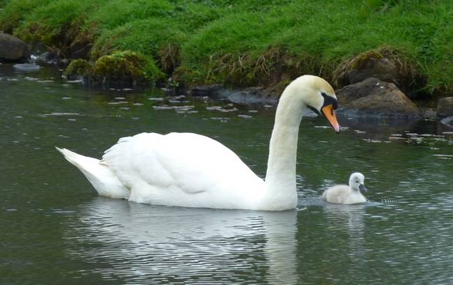 Swan with only cygnet