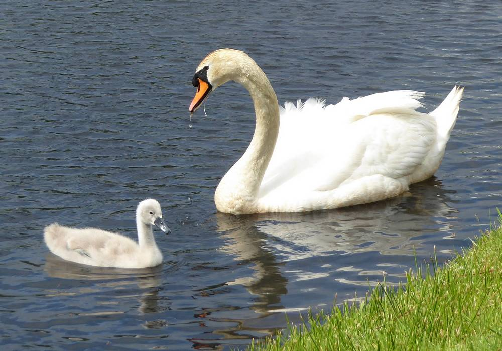 Swan and cygnet at Auchlochan. 13th June.