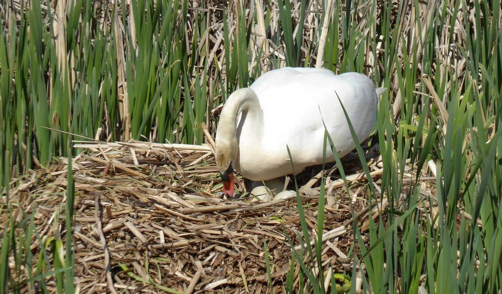 Swan on nest turning eggs, Auchlochan
