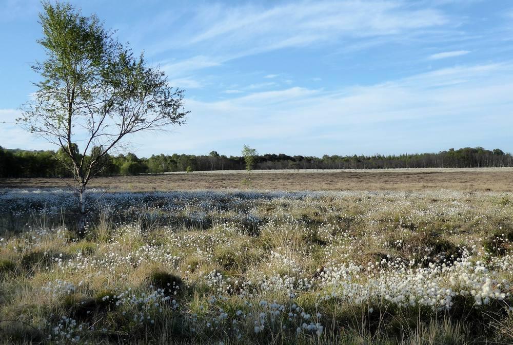 Bog cotton growing near Coalburn