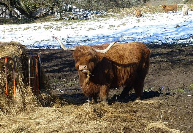 Highland cow near Comrie