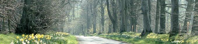 Daffodil-lined lane near Broughton