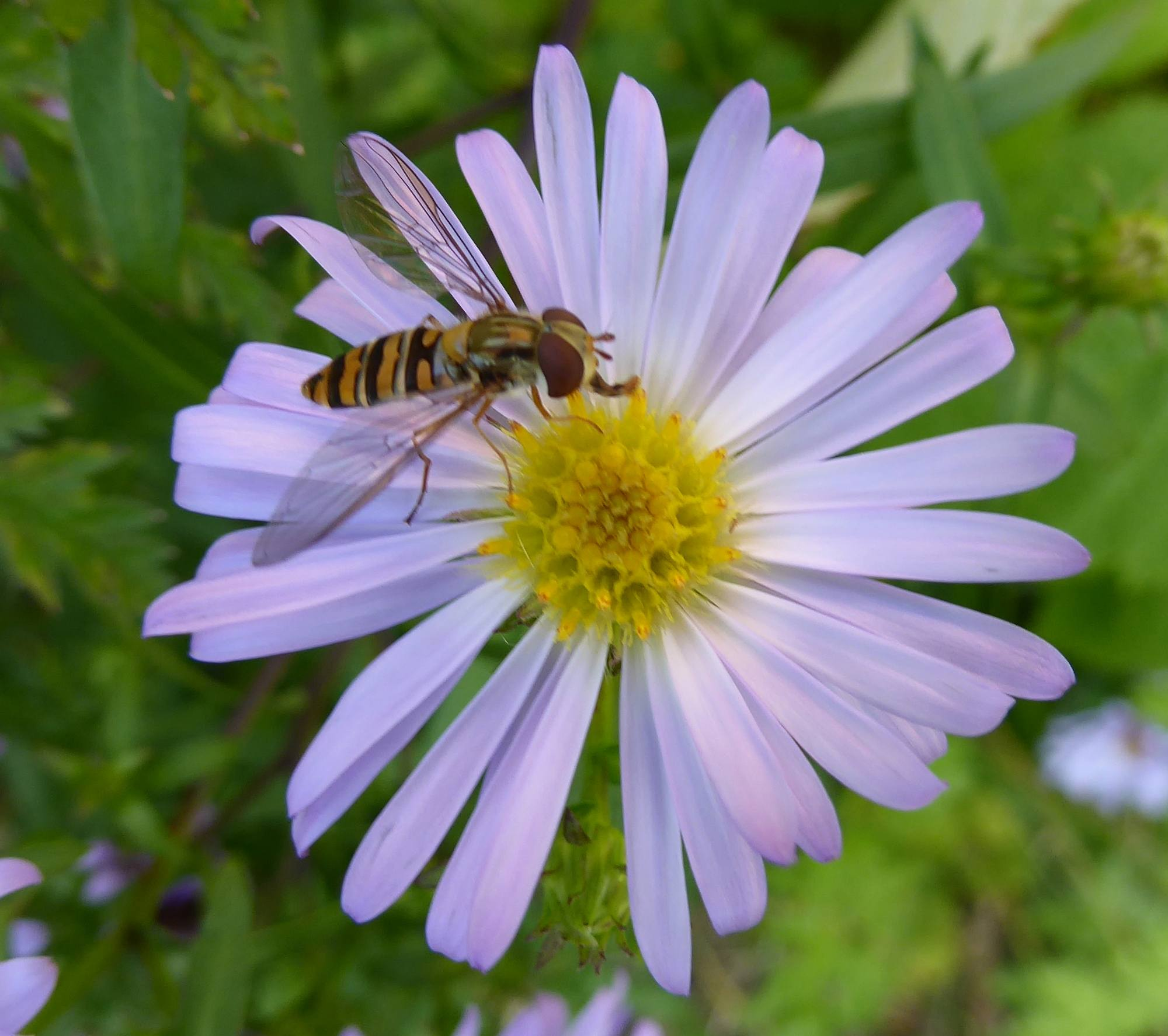 Pollinator on michaelmas daisy