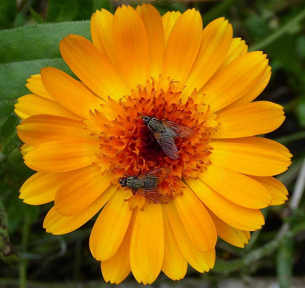 flies on a calendula flower