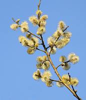 Flowering Willow Catkins