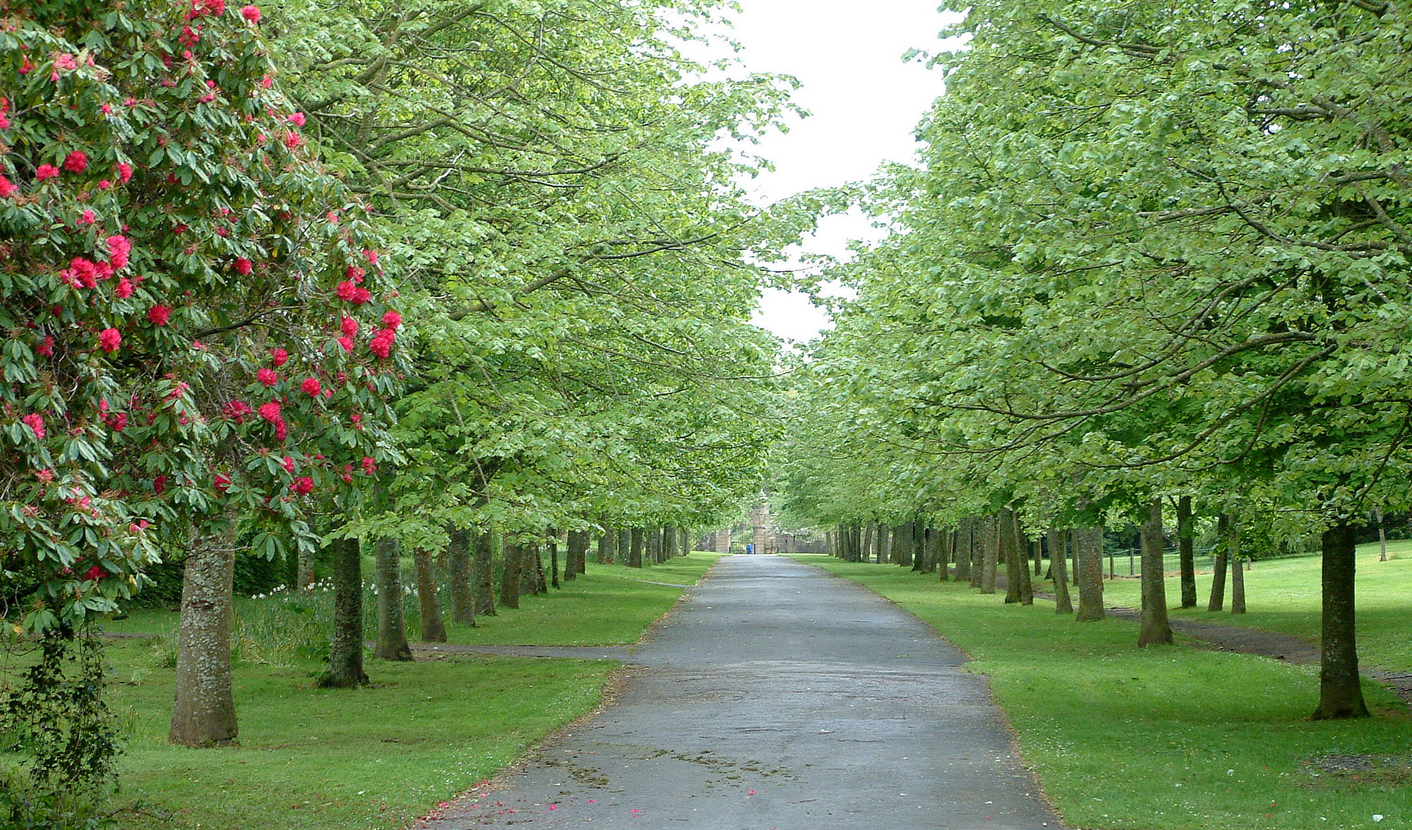 Avenue of trees at Culzean Castle