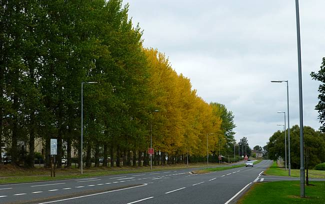 Autumn colours in line of trees beside B7078 in Lesmahagow